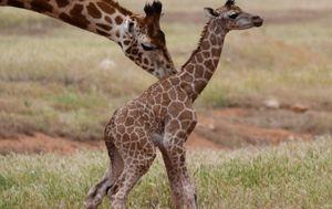 Bison, zebra, hyena babies born at South Australian zoo