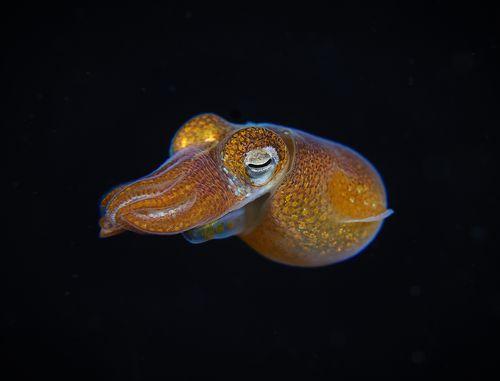 Bobtail glow squid