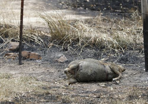 Dead livestock in a burnt paddock at Woodside in Adelaide.