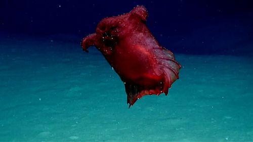 "The deep sea cucumber known as a ""headless chicken monster"" has been filmed for the first time."