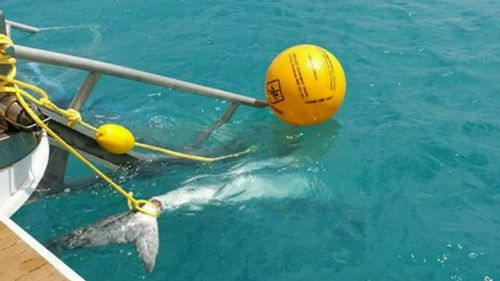 Another two sharks have been killed in Cid Harbour, snared by the baited drum lines after two shark attacks last week, with four other sharks already killed in the Whitsundays.