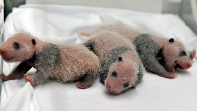 It wasn't clear whether the panda triplets, seen here shortly after their birth, would survive to celebrate their one month birthday. (AP)