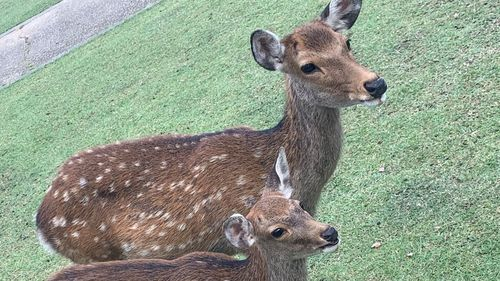 Japanese paper company create edible bags to protect sacred Nara deer