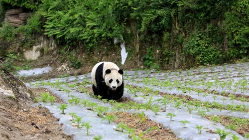 She strolled beside a vegetable garden, trotted across a dirt road and climbed a tree, seemingly unfazed by the attention she drew from a large group of onlookers. Picture: AP