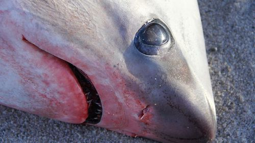 "Experts believe ""cold shock"" to be the likely cause of death. (Atlantic White Shark Conservancy)"