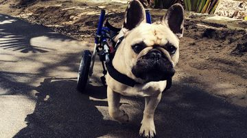 Wheelchair-bound Perth pup Raul to take on RSPCA charity walk