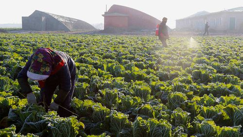 Farmers work on cabbage at the Songsin Vegetable Cooperative Farm in Sadong district of Pyongyang, North Korea.
