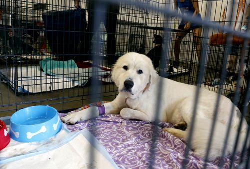 Pearl, a Great Pyrenees rescued from an animal shelter in Carteret County, being cared for in Raleigh, North Carolina.