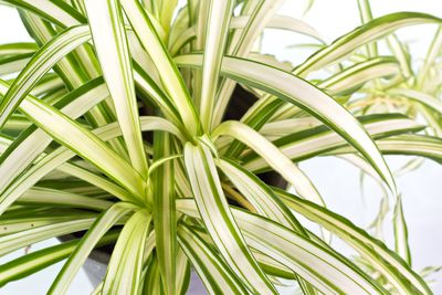 <strong>Spider Plant</strong>