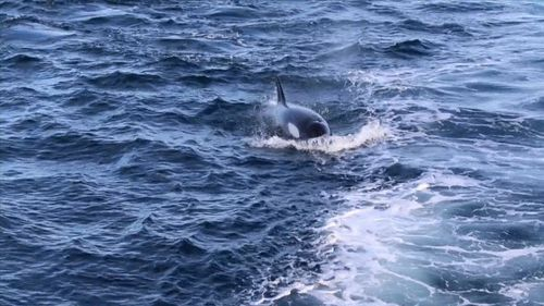 The predators are in the area hunting humpbacks which are making their annual migration north to warmer waters. Picture: 9NEWS