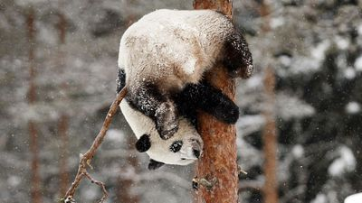 Giant pandas play in snow in Finland