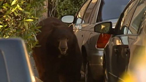 A giant bear was spotted wandering the streets on the outskirts of LA.