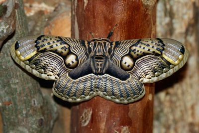 <strong>Brahmin moth</strong>