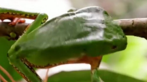 A frog poison enters the patient's blood stream through burns in the skin and it is claimed it has health and transformation benefits.