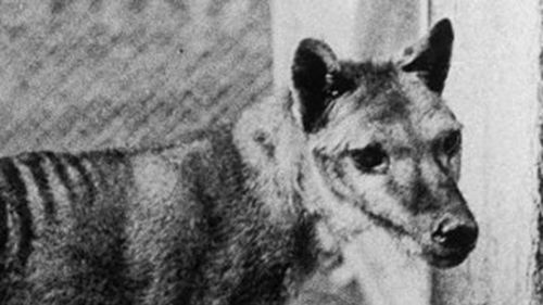European colonists killed thousands of thylacines to protect their livestock.