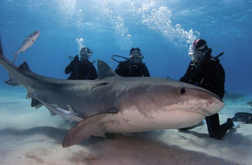 A group of female divers pose with a tiger shark in the Bahamas. Shark shepherd Jim Abernathy has spent an incredible 35 years interacting with sharks underwater. (Getty)