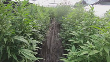 Nearly $6 million of cannabis was uncovered at Schofields on the outskirts of Sydney today.