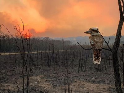 A lone kookaburra looks out at the fire devastation.