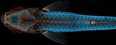 Dorsal view of bones and scales (blue) and lymphatic vessels (orange) in a juvenile zebrafish