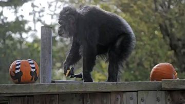 Cobby, pictured in 2009, plays with pumpkins during the San Francisco Zoo's 'Boo at the Zoo' Halloween celebration in San Francisco.