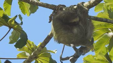 A sloth has been filmed giving birth in a tree, with her infant plunging from the branch moments after.