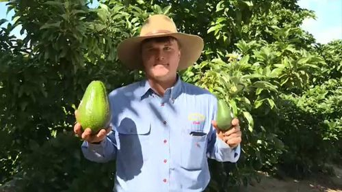 David Groves with his crop and  an average avo. Picture: 9NEWS