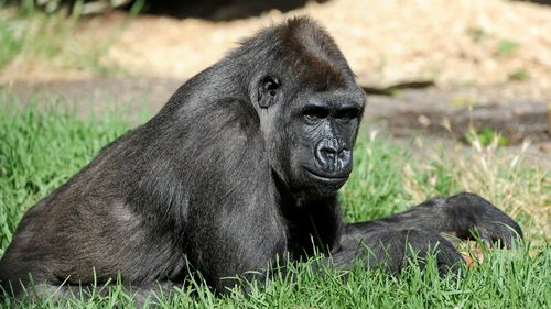 AIDS strains traced to gorillas in medical breakthrough