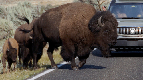 In this Aug. 3, 2016 photo, a large bison blocks traffic in the Lamar Valley of Yellowstone National Park as tourists take photos of the animal. (AP Photo/Matthew Brown)