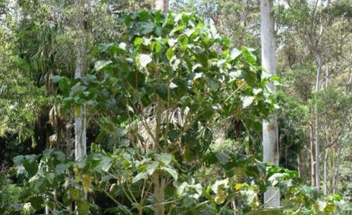 The Gympie-Gympie stinging tree is one of the world's most venomous plants and causes extreme long-lasting pain.