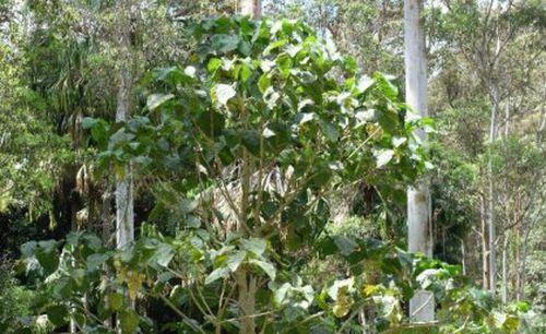 Scientists: Australian stinging trees contain scorpion-like venom