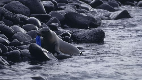 A Galapagos sea lion with a plastic bag. (Getty Images)