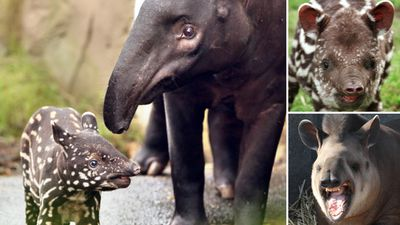 "<p>Tapir fans can rejoice today, as the distinctive and unusual mammals are celebrated with their own special awareness day.</p><p><a href=""http://www.tapirday.org/"">World Tapir Day </a>aims to highlight the plight of all four endangered tapir species.</p><p>Tapirs are found in the forests and grasslands of Central and South America, with the woolly-coated Mountain Tapir found in the Andes, and the Malayan Tapir found in Malaysia and Sumatra.</p><p><strong>Click through the gallery to see tapirs in zoos and in their natural habitats around the world.</strong></p><p>(Images: AFP unless stated / Information: <a href=""http://www.tapirday.org/"">National Geographic</a> and Zoos Victoria)</p>"