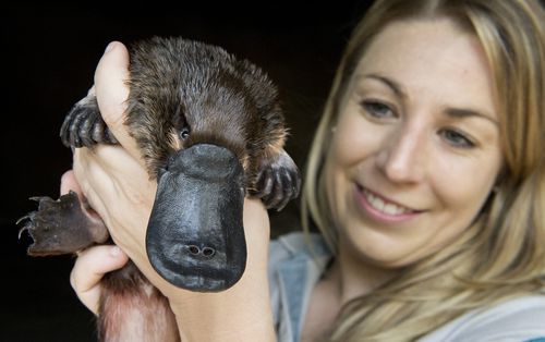 Unlike mammals, platypus milk is exposed to the environment. (AAP)