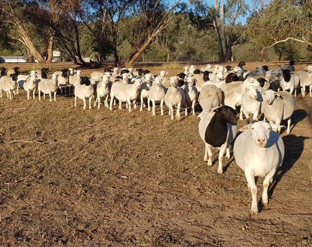 Photos taken on Cherilyn Lowe's sheep breeding property in Moonbi show the difference a month can make.