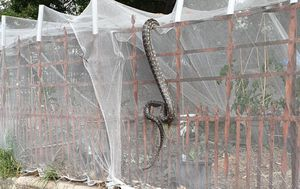 Huge carpet python spotted climbing fence outside of Brisbane's CBD