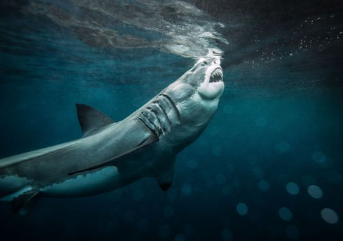 A great white shark sticks its head out of the water, baring its teeth. Photo taken at The Neptune Islands, South Australia in May, 2014. (Getty)