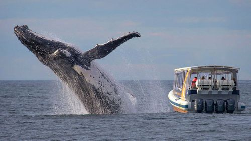 Sydney whale-watchers' close encounter with breaching humpback