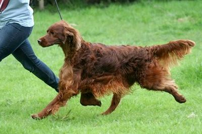 Jagger the Irish setter