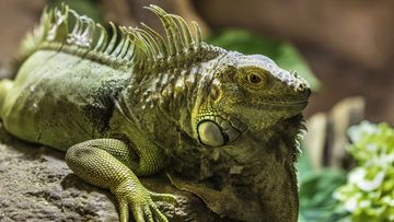 Green iguanas are invading Florida.