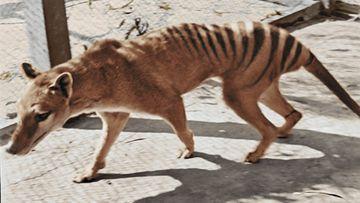 The footage is of the last Tasmanian Tiger.