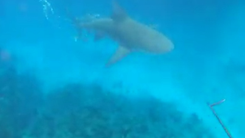 The larger of the two bull sharks was immediately aggressive  as it was focused on the fish.