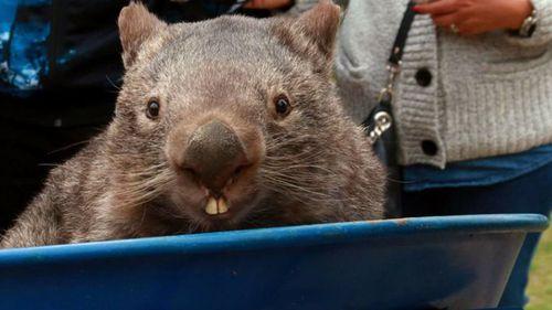 Social media mourns death of world's oldest captive wombat, Patrick