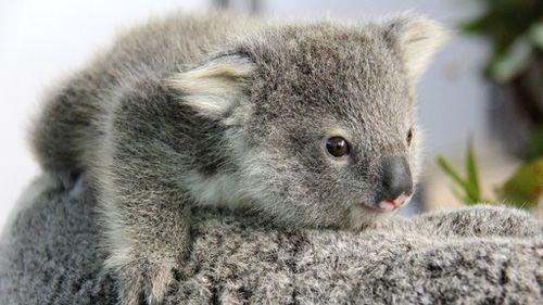 A koala joey. (AAP file image)