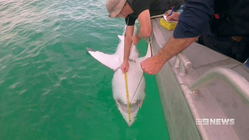 When a large shark is caught, the fisherman tags it and releases it further off the coast. (9NEWS)