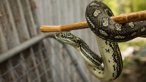 Despite their size, carpet pythons are not particularly dangerous however they do bite.