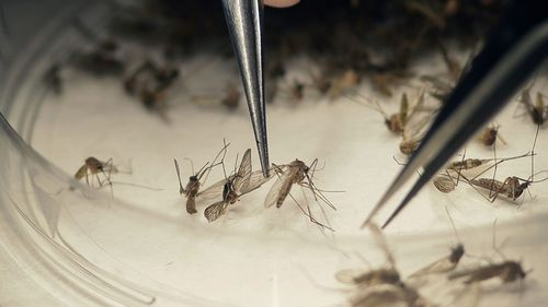 Mosquitoes are by far the deadliest creature on Earth.