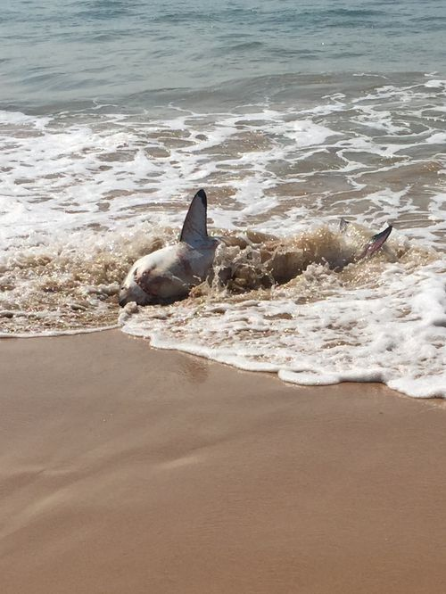 The shark washed up just after 12pm. (Supplied via Donna Holland)
