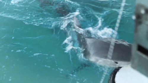 The tiger shark started to take repeated bites of the back of the boat.