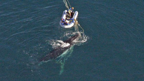 Gold Coast, September 8, 2005. Rescuer from the Department of Primary Industries and Fisheries (DPIF) try to free a juvenile Humpback whale caught in a shark net off Queensland's Gold Coast, the fourth to become trapped that season.
