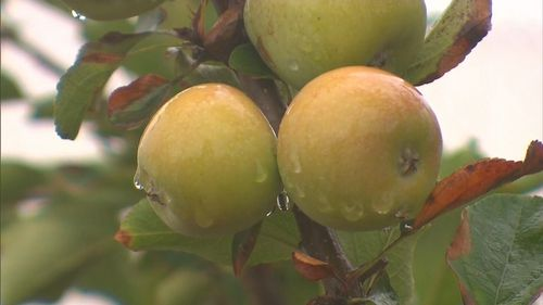 Many apple orchards in the area were destroyed in the fires, but some survived.